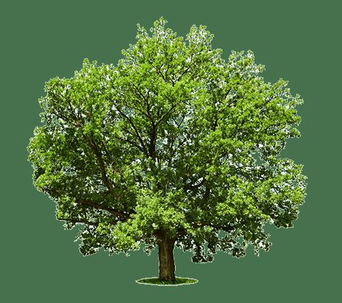 Eiche Baum für unsere Eiche Massivholztische nach Maß