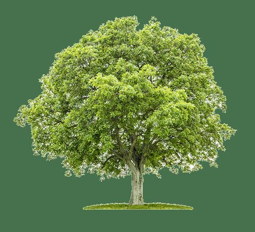 Nussbaum Baum für Tische aus Massivholz