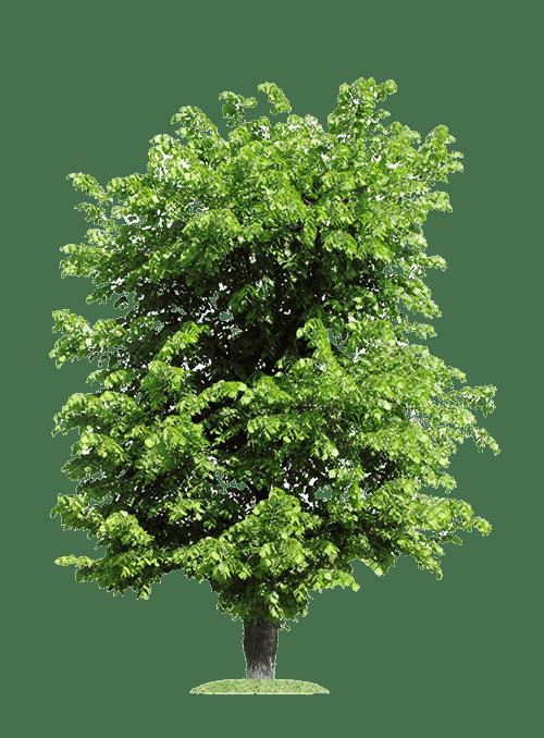 Ulme Baum