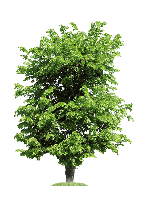 Ulme Baum für Massivholztische nach Maß